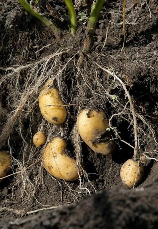 Potatoes are underground stem tubers that evolved to cope with unfavourable conditions