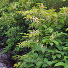 Japanese knotweed - a growing problem that demands a community response
