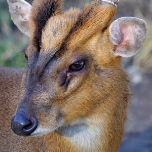 Adult male Muntjac have antlers, a V-shaped mark on their foreheads and large scent glands under their eyes
