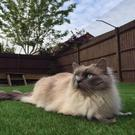 Cats are safer if they're fenced in. (credit: protectapet.com)