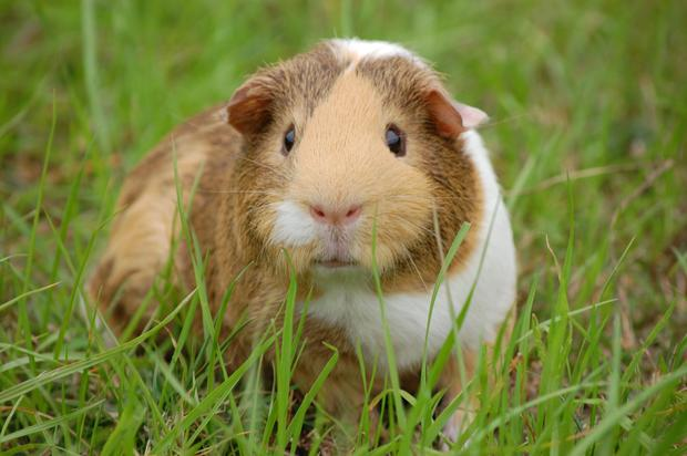 Guinea pigs are great small pets for children.
