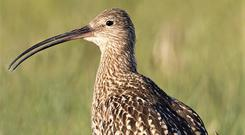The Curlew may go extinct as a breeding species in Ireland within 5-10 years.