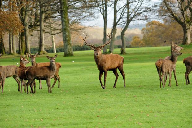Stag and his family take a stroll around Killarney National Park. Photo by Michelle Cooper Galvin.