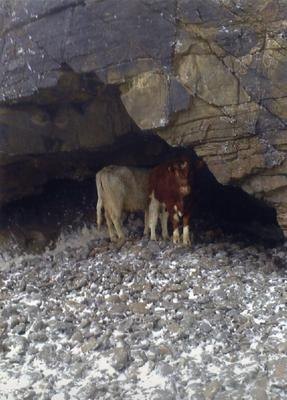 Mom Crusher and calf Maolie huddling under 80ft-high cliffs at Clashmealcon
