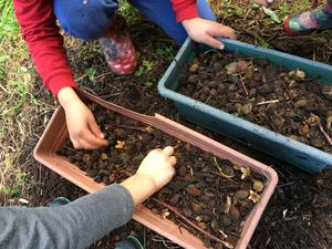 Beech nuts planting with Kerry Forest Connections