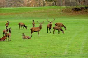 Red Deer in Killarney. Photo by Michael Donnelly