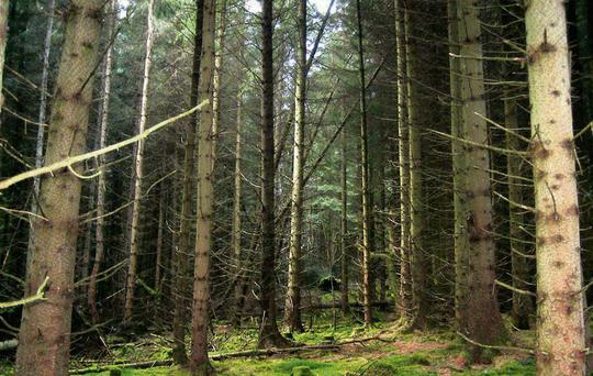 The government will not be selling off the harvesting rights of Coillte