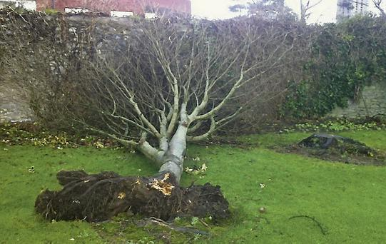 One of the trees felled by storm force winds in Tralee Town Park.