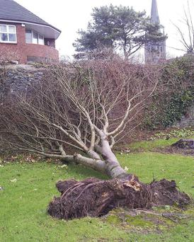 A tree felled by last week's storms in Tralee Town Park.