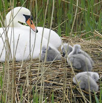A swan and her cygnets sitting pretty in the Wetlands Centre.
