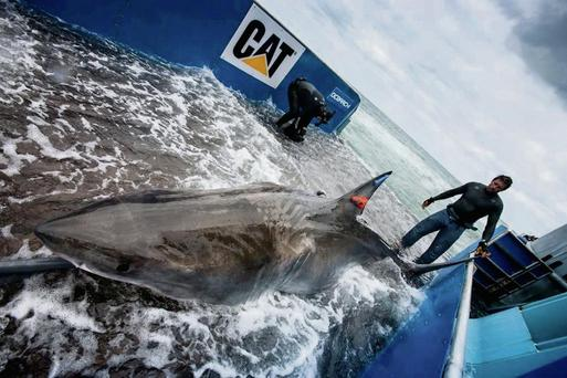 'Lydia' the great white shark after being tagged in Florida last year.
