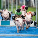 The pig-racing in Ballyheigue's GAA grounds
