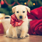 The myth that a dog is a perfect Christmas present has to be dispelled