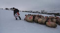 Sheep Farmer Davy Leane, MacGillycuddy's Reeks, had brought his ewes to lower ground ahead of Storm Emma. Photo by Valerie O'Sullivan