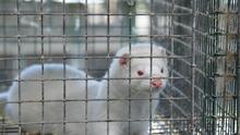 """""""Mink farmers continue to operate in full compliance with all legislative and animal welfare requirements..."""""""
