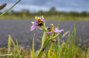 This is the second time ever a Bee Orchid has been found in the townland of Tralee