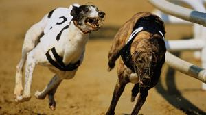 'Ballymac Beanie is a marginal favourite, but Swanley Chick, Droopys Curio and Ballymac Art are just behind her in the market and it's easy to make a case for all four.' Stock photo