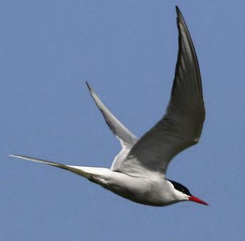 Arctic Terns fly the entire length of the north and south Atlantic Oceans to winter in the Antarctic.