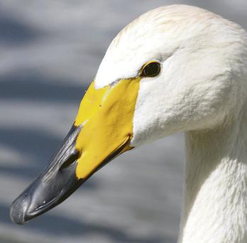 Hard weather drives wild swans south to seek milder climes.