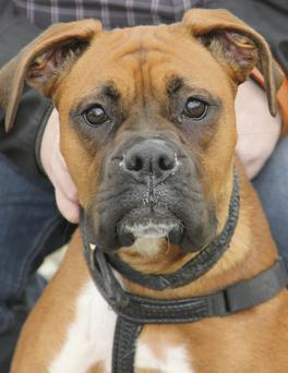 The Boxer: a lively, active breed of dog that's very popular, but also quite demanding in terms of time and energy from the owner.