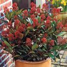 Plant of the week: Skimmia japonica - 'Rubella'