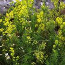 Lady's Bedstraw is a very common wild plant