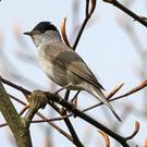 A cold snap can often be accompanied by an influx of hungry Blackcaps
