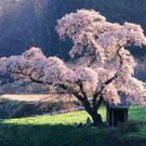 The Japanese have long embraced the cherry flower in a spiritual way