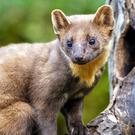 Formerly rare, the Pine Marten is now extending its range