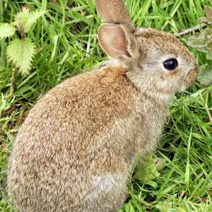 Rabbit population size normally peaks in September and October and drops back with the onset of winter