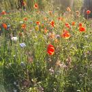 Poppies and wildflowers