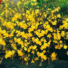 Jasminum nudiflorum (Winter Jasmine)