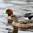 Pair of Wigeon; female in front, male behind