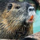 Originally native to subtropical and temperate South America, the Coypu has spread far and wide primarily due to escapes from fur farms