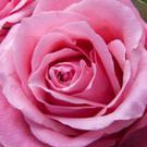 There are many varieties of roses available