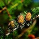 Larch remedies can improve confidence.