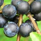 Sloes, the large bluish-black fruits of the Blackthorn have a dense, waxy bloom