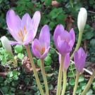 Plant of the week: Colchicum autumnale