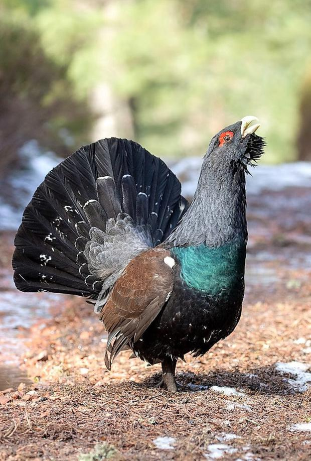 The male Capercaillie, a game bird, is the largest member of the grouse family.