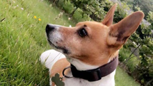 Louie, the Jack Russell which was stolen