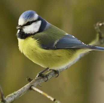 The blue tit is a very common visitor to garden bird feeders