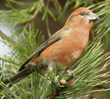 The Common Crossbill is a species of bird that is spreading rapidly throughout Ireland.