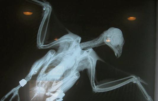 An X-ray showing a pellet in the falcon's wing.