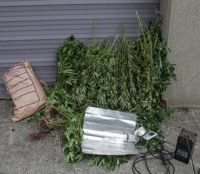 Cannabis Plants in Garda Station on Wednesday worth 100 Thousand euro