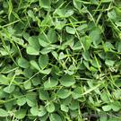 Clover, along with moss, is the bane of most lawns in Ireland