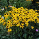 Plant on the week: Rudbeckia fulgida 'Goldsturm'