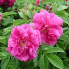 Plant of the week: Rosa Rugosa 'Hansa'