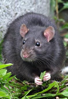 Rats like this one quickly moved into the garden of the abandoned house (stock photo)