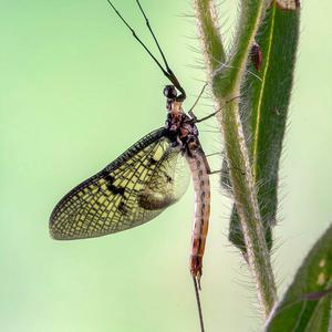 The Green Drake is one of the commonest of the 33 species of mayfly found in Ireland