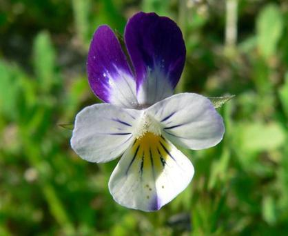 The Field Pansy